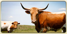 longhorn cattle in menard, tx